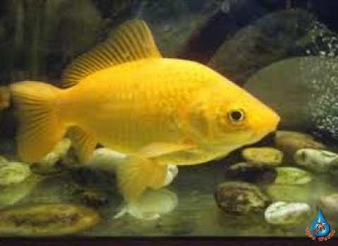 Prudovaya-zolotaya-ryba-Canaries