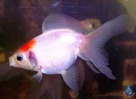 Prudovaya-zolotaya-ryba-Pearls
