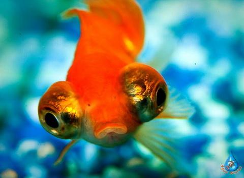Prudovaya-zolotaya-ryba