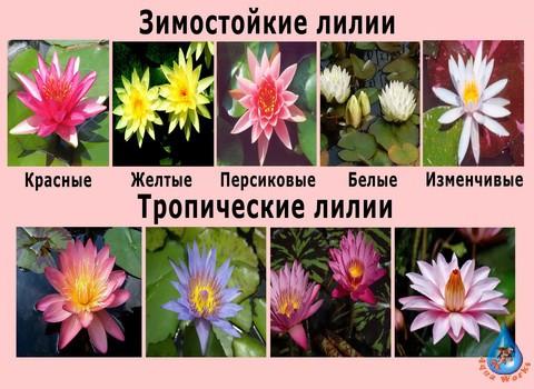 Tropicheskie-i-zimostoykie-lilii