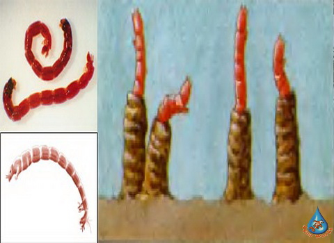 Vrediteli-rasteniy-vodoema-Motyl-Chironomidae