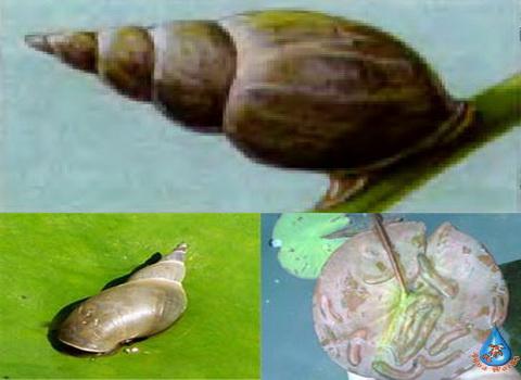 Vrediteli-rasteniy-vodoema-Ulitka-prudovik-Lymnaeidae